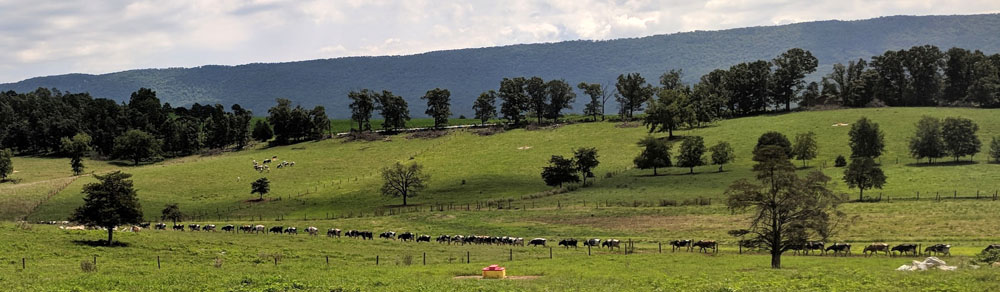 cows-in-line_20180729_120537